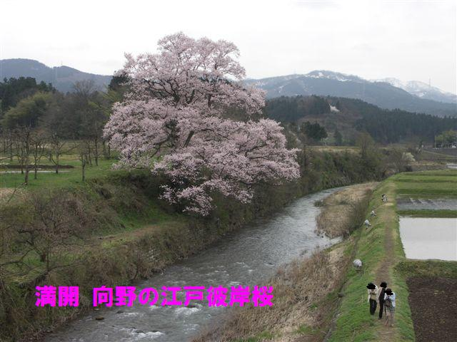 満開 向野の江戸彼岸桜