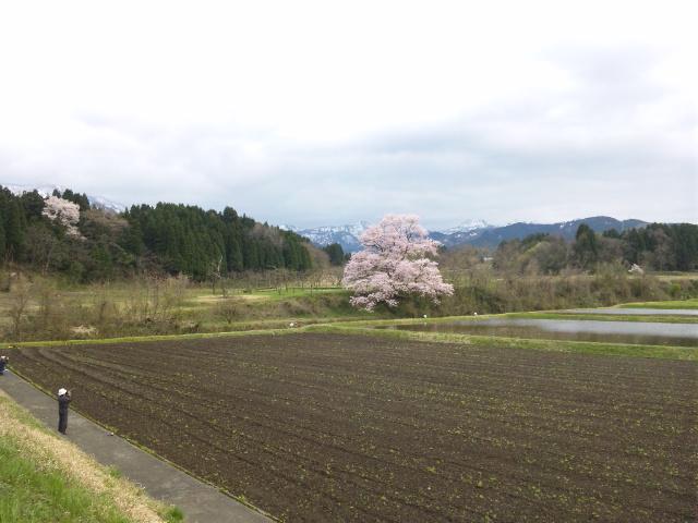 向野の江戸彼岸桜