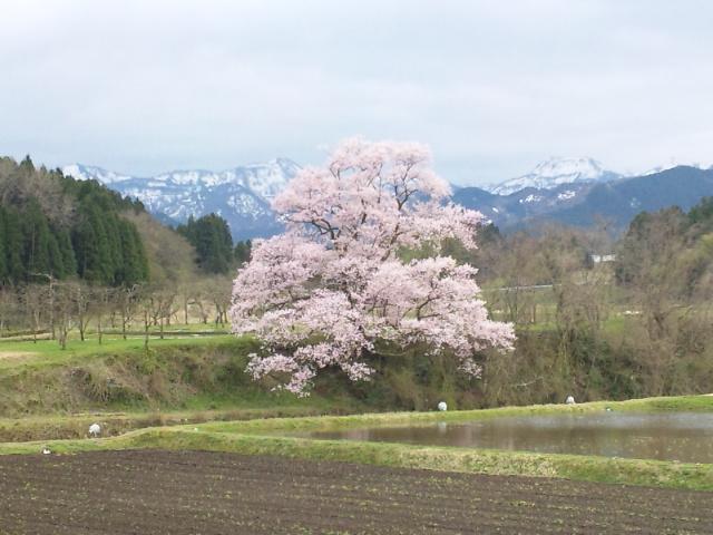 向野の江戸彼岸桜 満開