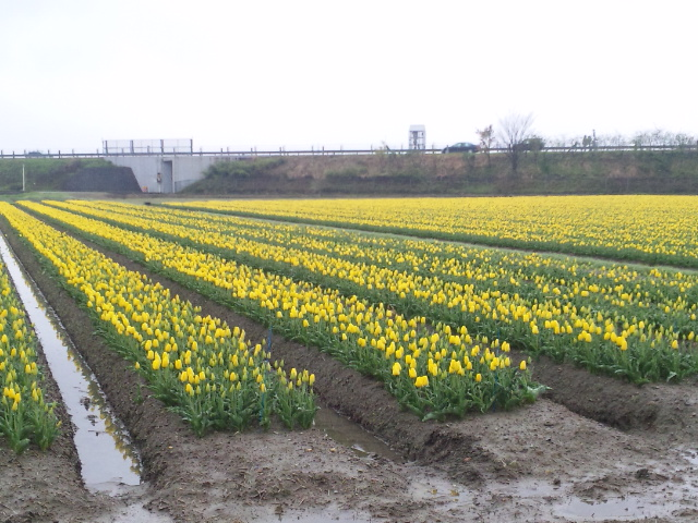 となみチューリップ畑 (2)