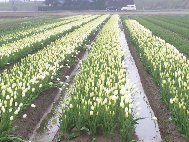 となみチューリップ畑 (4)