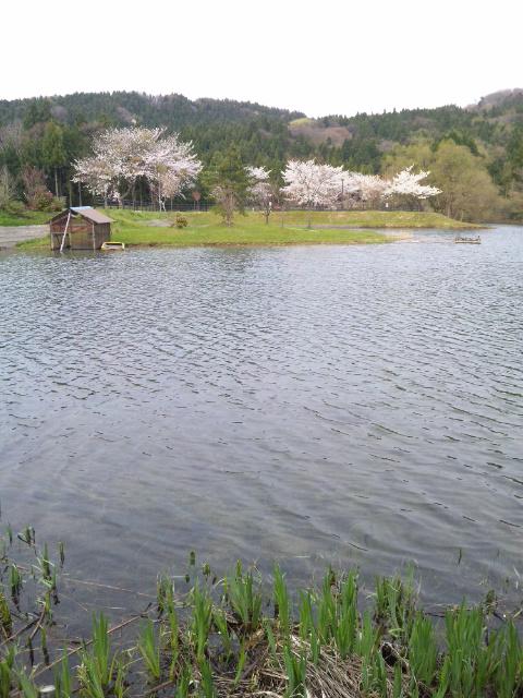 石川県鹿島町原山の桜