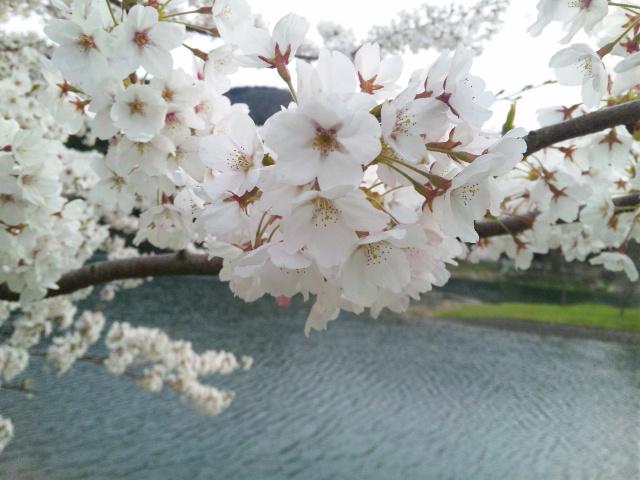石川県鹿島町原山の桜満開