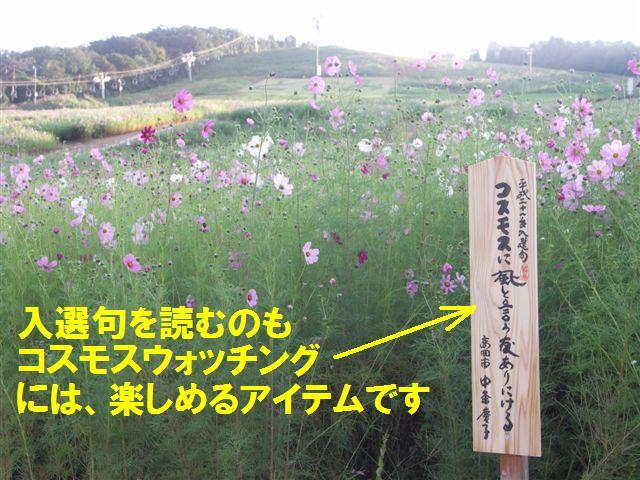 010 となみ夢の平 コスモスウォッチング (7)