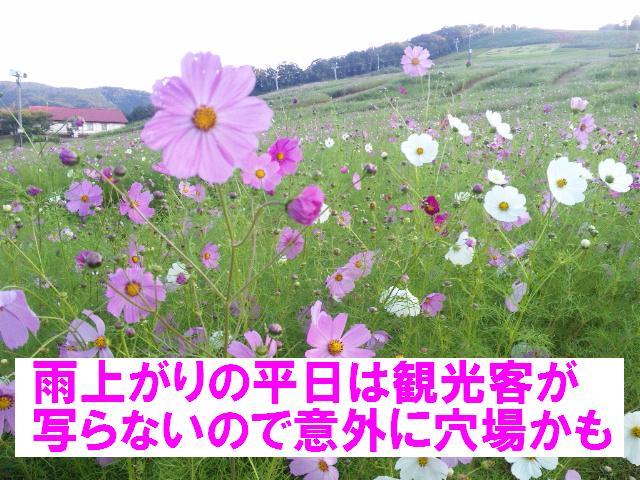 010 となみ夢の平 コスモスウォッチング (8)
