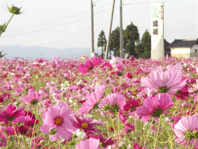 長楽寺コスモス (3)