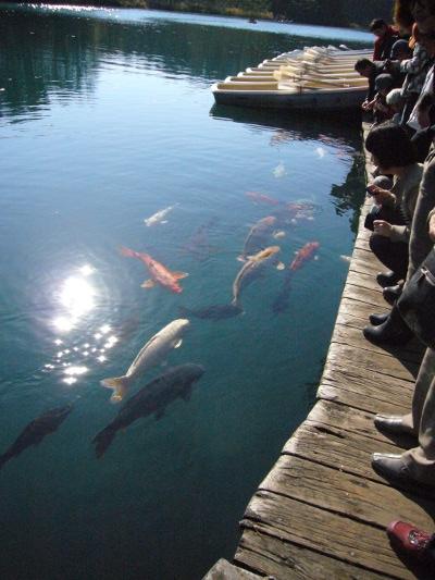 五色沼の鯉