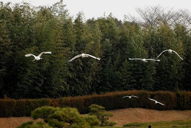 丹頂の放鳥8