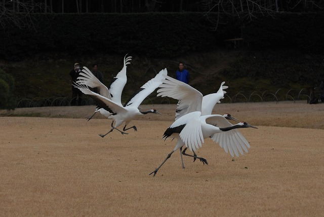 丹頂の放鳥13
