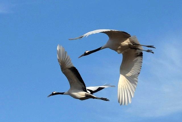 丹頂の放鳥20