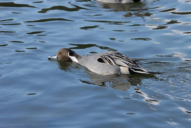 深山公園の鴨2