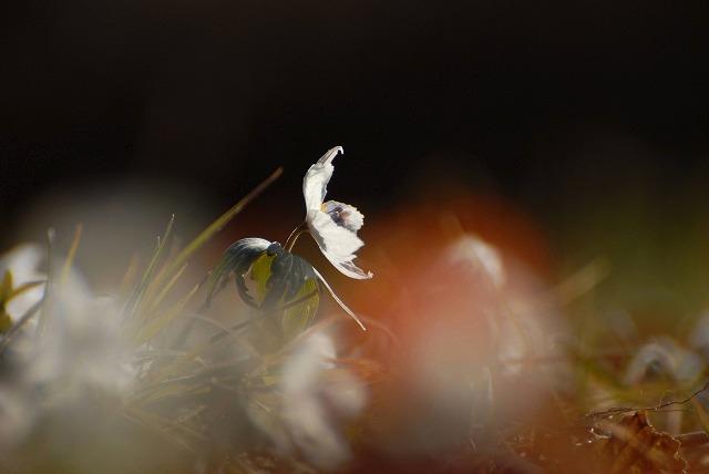 成羽の節分草11
