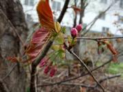 20100505桜