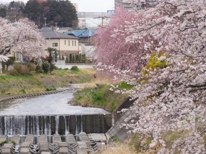 20110410霜川の桜