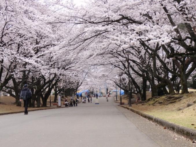 20110409稲荷山の桜