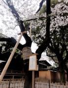靖国神社 桜の開花標準木
