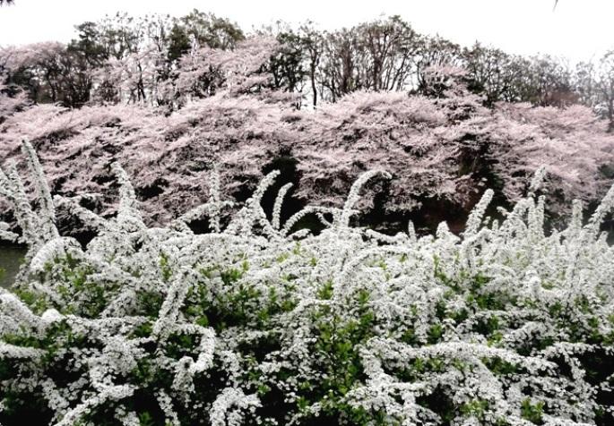 千鳥ヶ淵 雪柳&桜