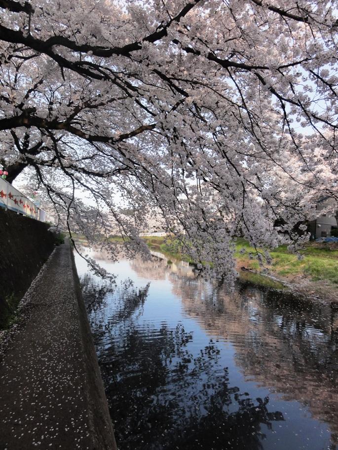 20120412霜川の桜F