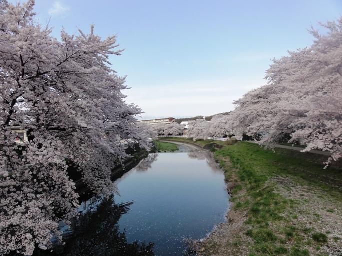 20120412霜川の桜C