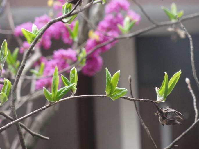 2012422夏椿の新芽