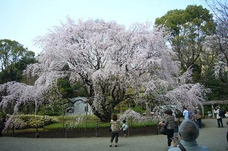 枝垂桜2-1