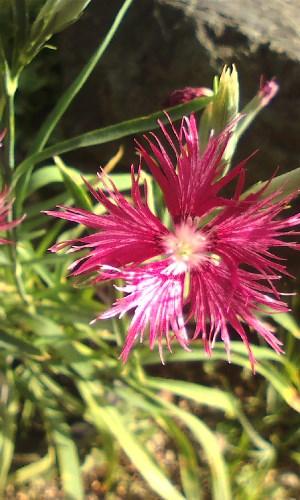 カワラナデシコ(変わり咲き)