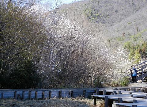 シデコブシの丘 151