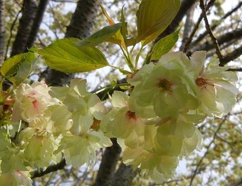 うこん桜 036