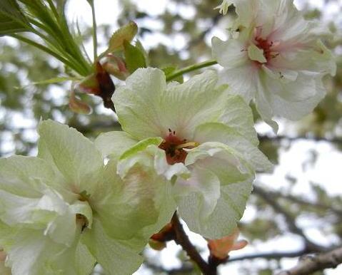 うこん桜 042