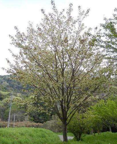 うこん桜 045