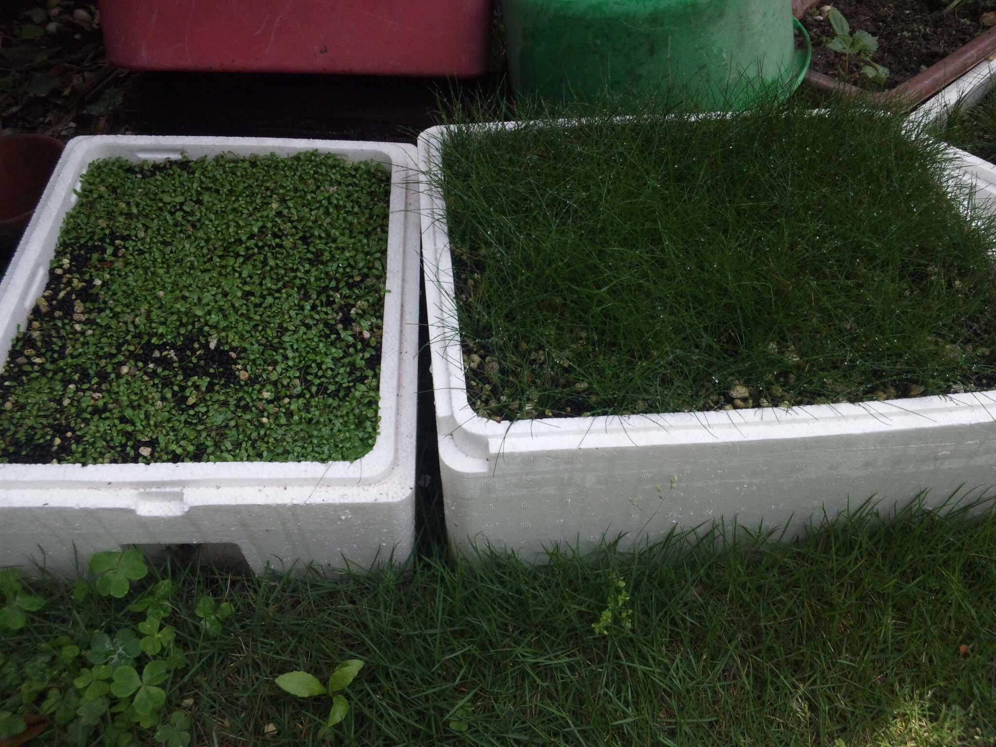 水上栽培2箇月後