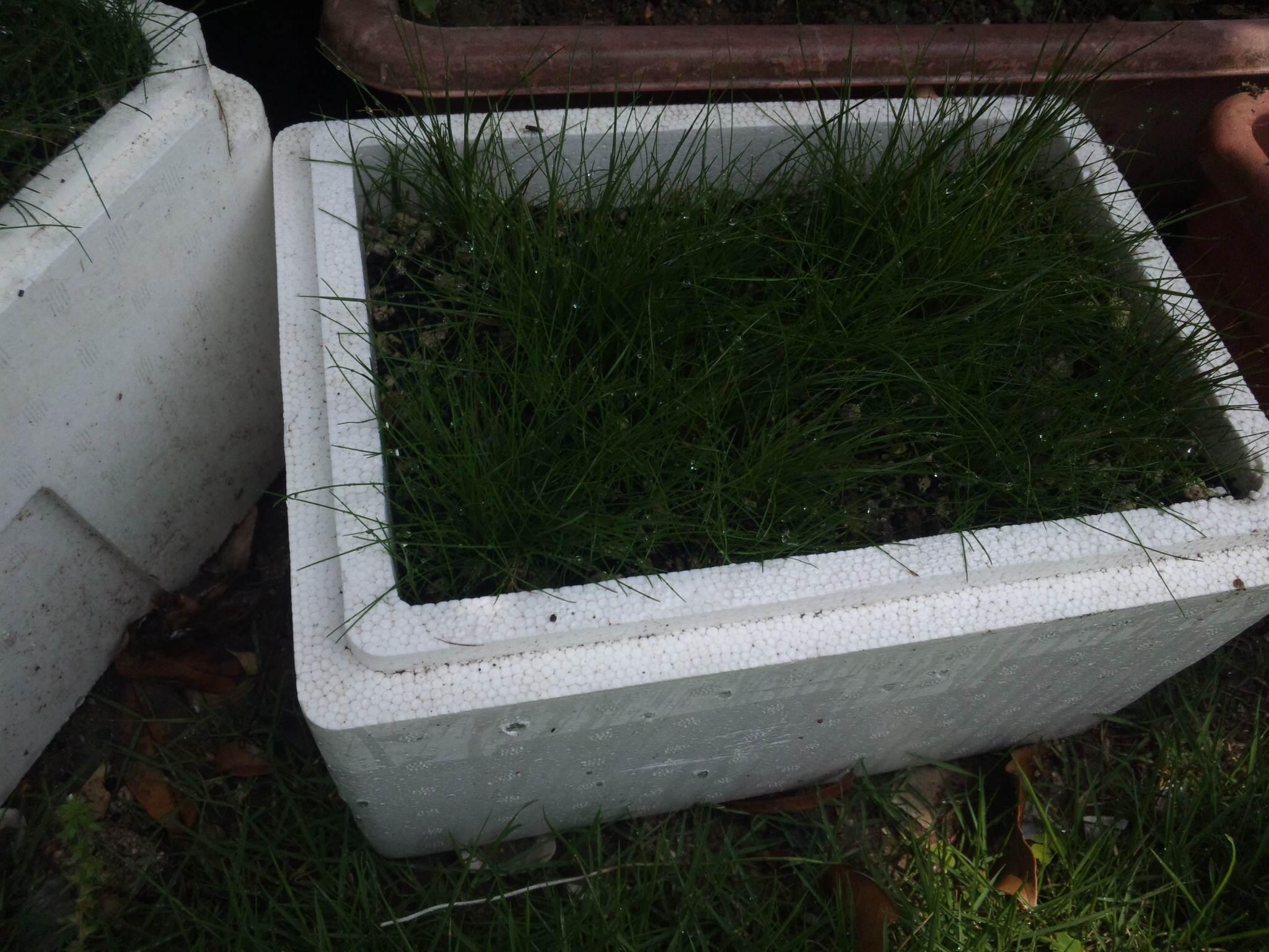 水上栽培2箇月後2