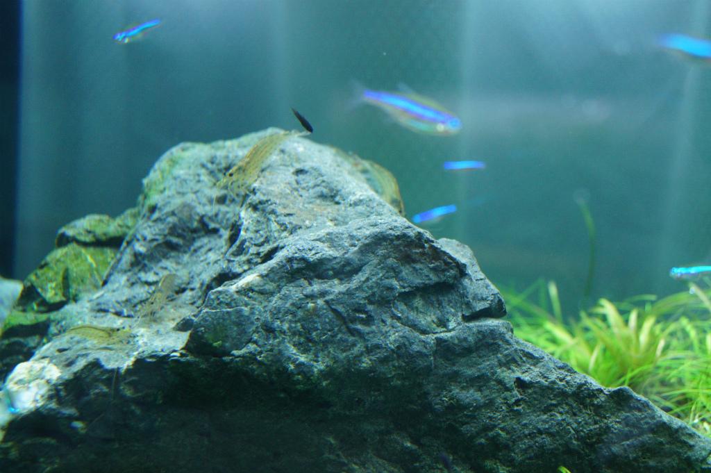 ブラックモーリ稚魚3