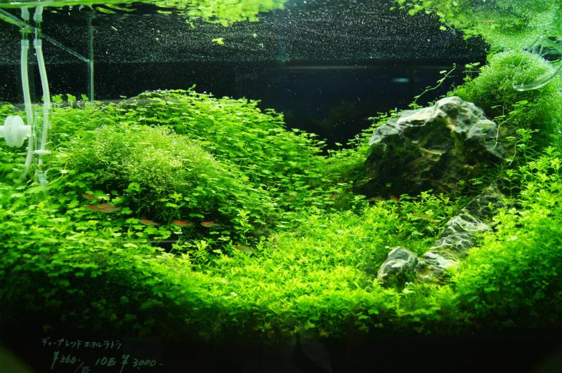 AquaRevue60cmレイアウト