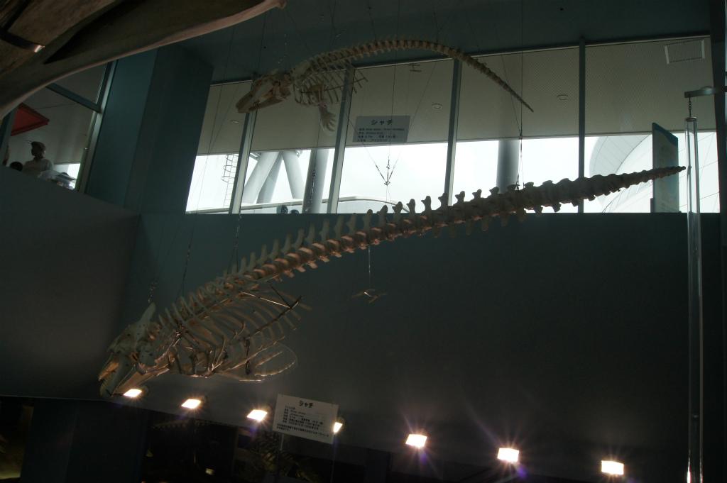 シャチの骨格