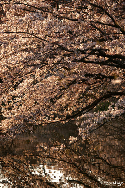 鎌倉桜-21