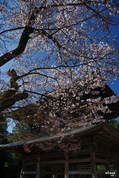 鎌倉桜-100