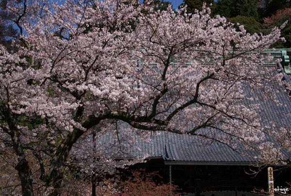鎌倉桜-274