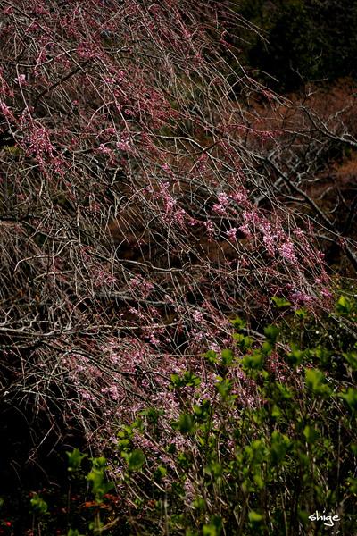 鎌倉桜-184