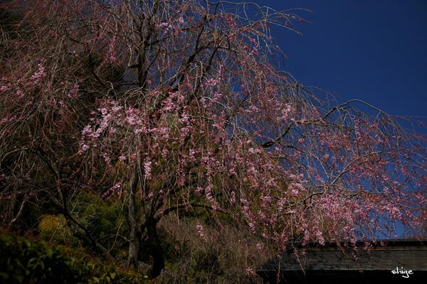 鎌倉桜-186