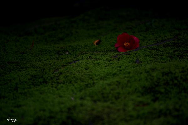 鎌倉桜-241