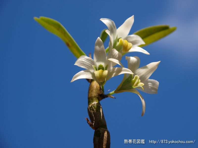 1月16日誕生花 デンドロビウム