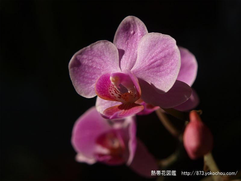 1月17日誕生花 コチョウラン(胡蝶蘭)