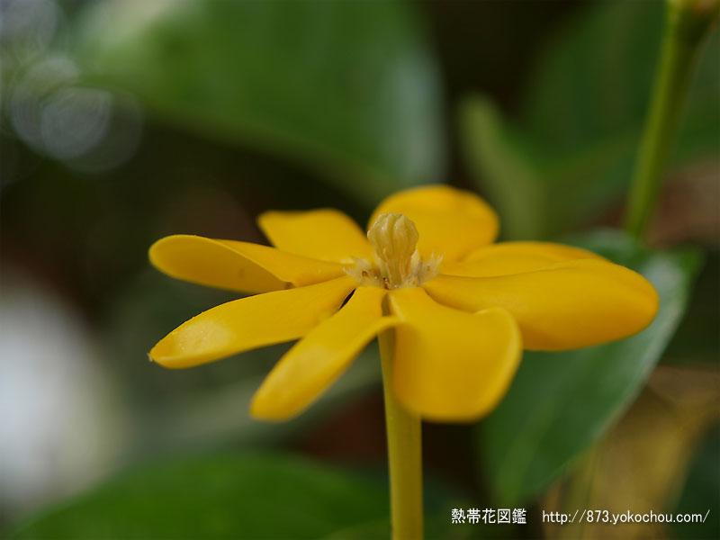 雨上がりのキバナクチナシ(黄花梔)