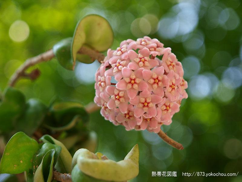 サクララン(桜蘭)