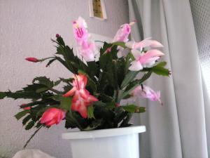 シャコバ花