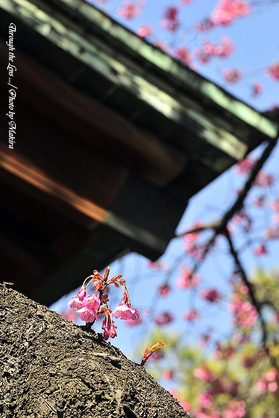 カンヒザクラと荏原神社1