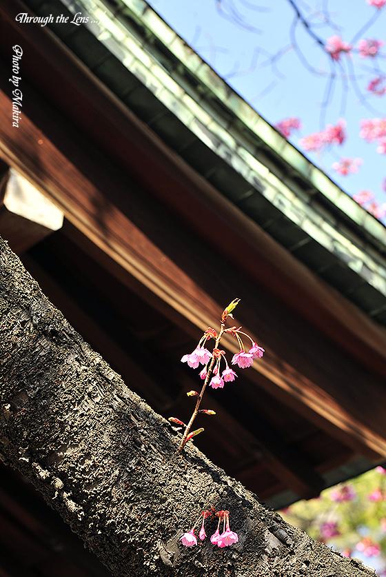 カンヒザクラと荏原神社2