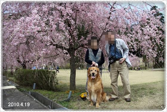 2011,5,2枝垂桜6