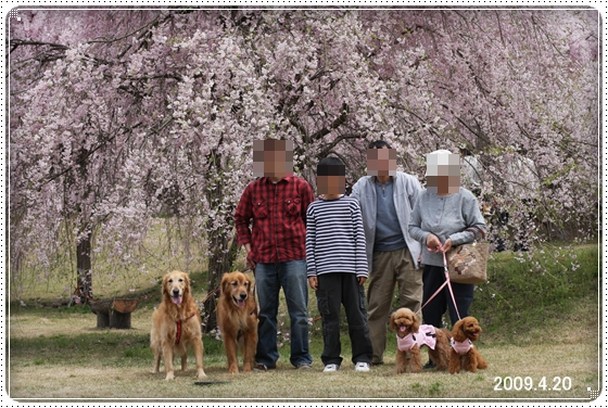 2011,5,2枝垂桜4